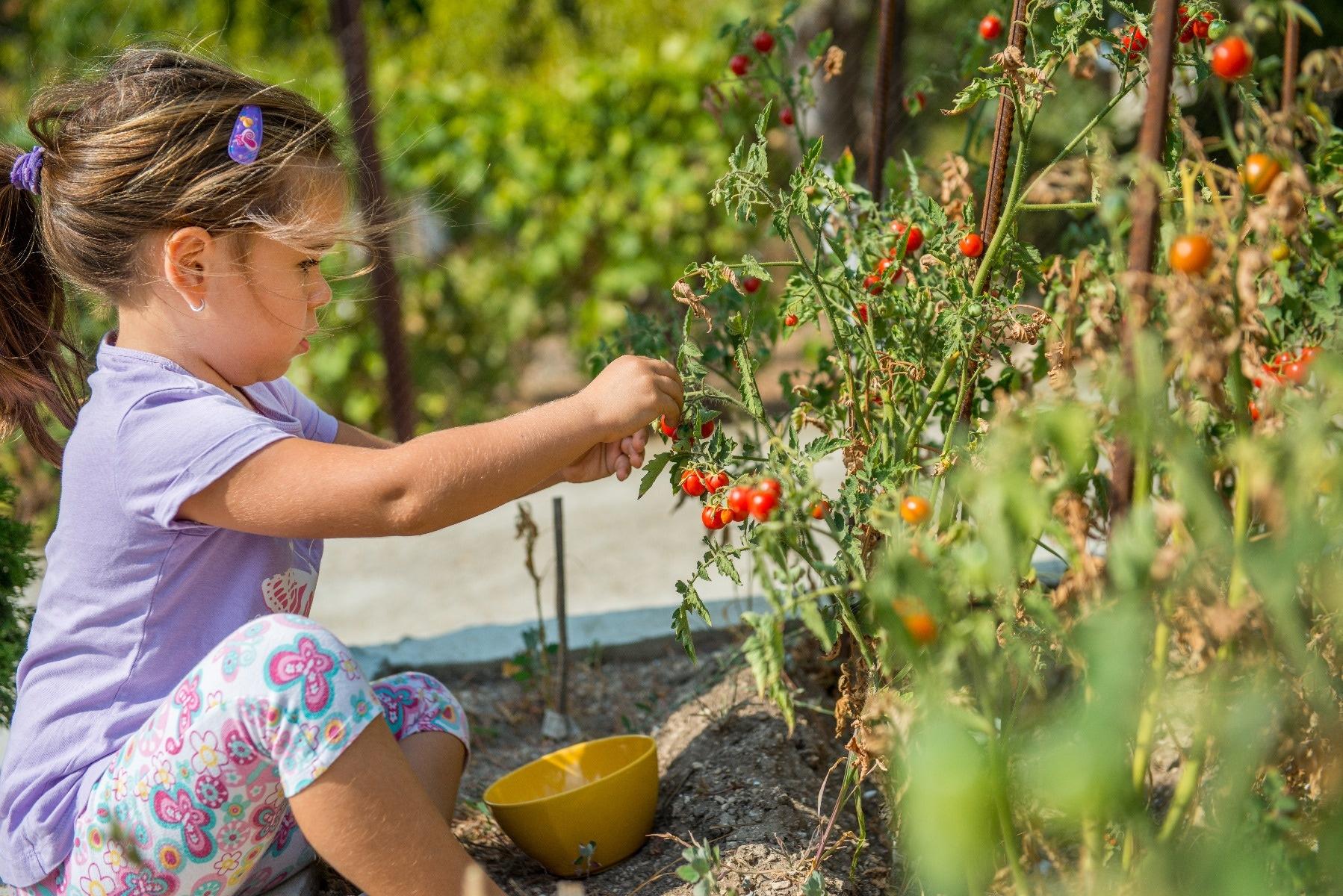 girl gardening tomatoes